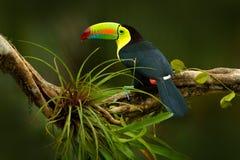 Köl-fakturerad tukan, Ramphastos sulfuratus, fågel med den stora räkningen Tukansammanträde på filialen i skogen, Boca Tapada, gr Arkivfoton