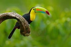 Köl-fakturerad tukan, Ramphastos sulfuratus, fågel med den stora räkningen Tukansammanträde på filialen i skogen, grön vegetation Royaltyfri Bild
