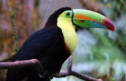 Kölen fakturerade den färgrika härliga tukan i Costa Rica den ursnygga tucan tucanoen Arkivbild