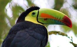 Kölen fakturerade den färgrika härliga tukan i Costa Rica den ursnygga tucan tucanoen Royaltyfri Foto
