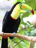 Kölen fakturerade den färgrika härliga tukan i Costa Rica den ursnygga tucan tucanoen Arkivbilder