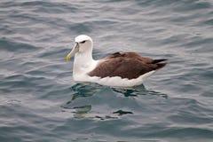 König Albatross Lizenzfreie Stockbilder