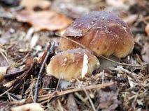 König Bolete - der Steinpilz im Herbstwald Lizenzfreies Stockfoto