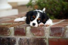 König Charles Cavalier Puppy Stockfotos