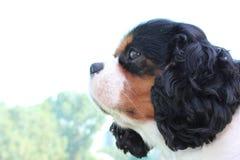 König Charles Dog Stockfotos