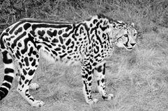 König Cheetah lizenzfreie stockfotos