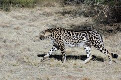 König Cheetah. Stockfotos