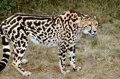 König Cheetah. Lizenzfreie Stockfotos