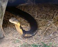 König Cobra Stockbild