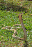 König Cobra lizenzfreies stockfoto