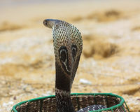 König Cobra Lizenzfreie Stockfotografie