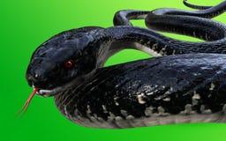 König Cobra Black Snake die Welt-` s längste giftige Schlange lokalisiert auf grünem Hintergrund Lizenzfreies Stockbild