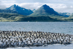König Cormorants On Ilha Dos Passaros Located auf dem Spürhund-Kanal, Tierra Del Fuego, Argentinien Lizenzfreies Stockbild