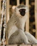König der Affen Stockfotografie