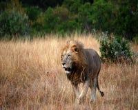 König der Savanne lizenzfreie stockfotos