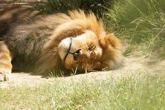 König der Tiere, die ein Schlaefchen halten Lizenzfreies Stockfoto