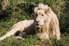 König der Tiere Stockfoto