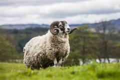 König der Wiese - unglaubliches schottisches Schaf Lizenzfreies Stockbild