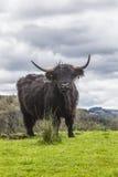 König der Wiese - unglaubliches schottisches Vieh Lizenzfreie Stockfotos