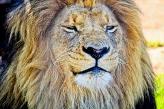 König des bushveld Stockfotografie