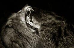 König des Dschungels lizenzfreie stockfotos