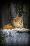 König des Dschungels Stockfotografie