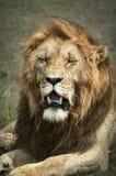 König des Masais Mara Lizenzfreie Stockbilder