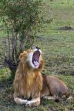 König des Masais Mara zu gähnen Savanne des Masais Mara, Kenia stockfotos