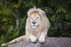 König des weißen Löwes Stockfotos