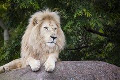 König des weißen Löwes Stockfoto