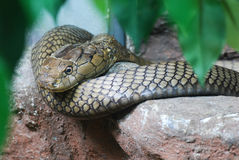 König Kobra stockfoto