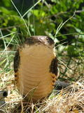 König Kobra Lizenzfreie Stockbilder