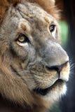 König - Löwe lizenzfreie stockfotografie