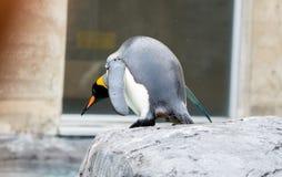 König Penguin Aptenodytes patagonicus bereit zum Springen in Wasser stockfotos