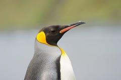 König Penguin (Aptenodytes patagonicus) stehend auf dem Strand Stockbild