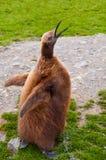 König Penguin Chick Lizenzfreies Stockfoto