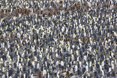 König Penguin Colony lizenzfreies stockbild