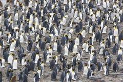 König Penguin Colony stockfotos