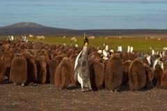 König Penguin Creche - Falkland Islands lizenzfreie stockfotos