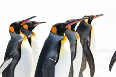König Penguin in der Pinguin-Parade stockbild