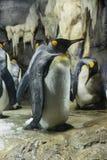 König Penguin an KAIYUKAN lizenzfreies stockbild