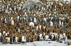 König Penguin Kolonie-Str. Andrews-Schacht, Südgeorgia Lizenzfreie Stockfotos