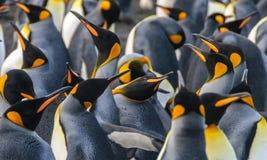 König Penguins auf Goldhafen lizenzfreies stockfoto