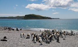 König Penguins auf Salisbury-Ebenen stockfotos