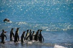 König Penguins auf Salisbury-Ebenen lizenzfreie stockfotografie