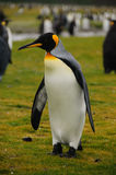 König Penguins auf Salisbury-Ebenen lizenzfreies stockbild
