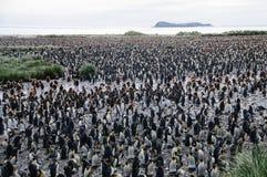 König Penguins auf Salisbury-Ebenen stockfoto