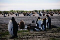 König Penguins auf Salisbury-Ebenen stockbilder