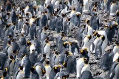 König Penguins auf Salisbury-Ebenen stockfotografie