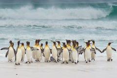 König Penguins Coming Ashore lizenzfreies stockfoto